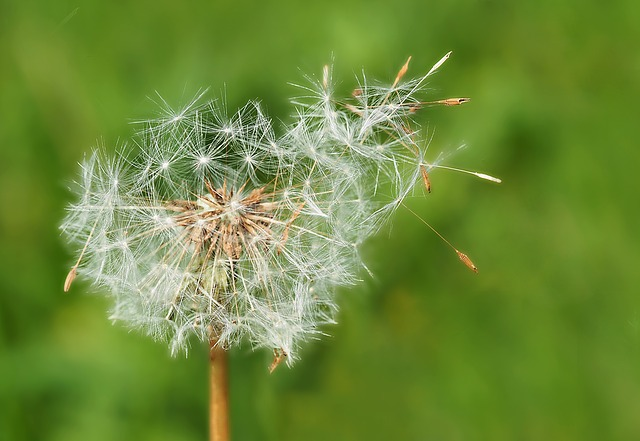 Flower, nature, dandelion