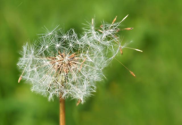 Flower, nature, dandelion